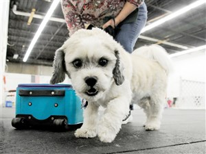 Molly, a 7-year-old Shih Tzu-Lhaso apso mix belonging to Amy Sandhapen of Whitehall, participates in a nose work class at Keystone Canine Training Club in Baldwin Borough. Molly and other dogs are trained to find a hidden scented object without verbal instructions.