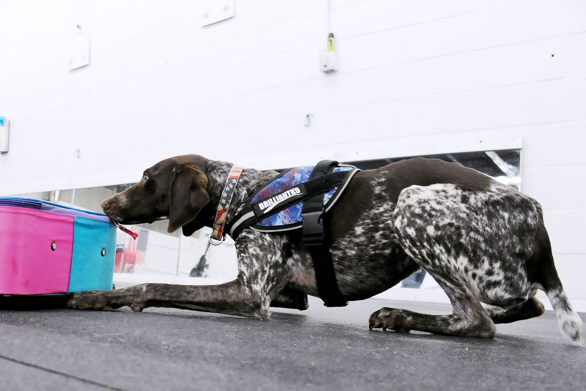 20170317lf-Dog04-3 Temperence, a 3-year-old German short-haired pointer, finds one of the hidden objects in a suitcase.