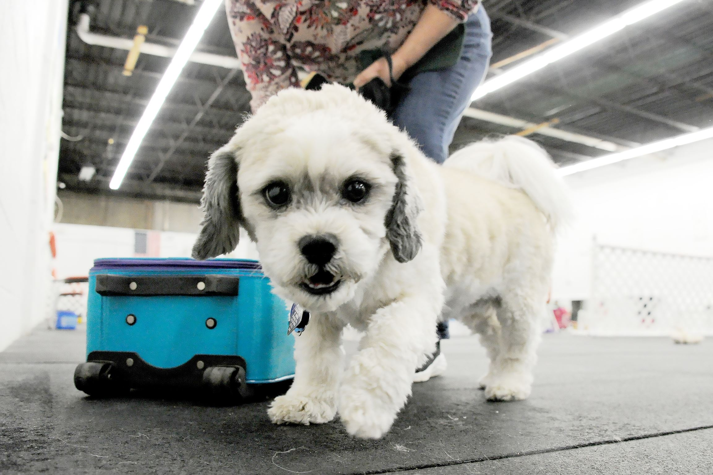 20170317lf-Dog01 Molly, a 7-year-old Shih Tzu-Lhaso apso mix belonging to Amy Sandhapen of Whitehall, participates in a nose work class at Keystone Canine Training Club in Baldwin Borough. Molly and other dogs are trained to find a hidden scented object without verbal instructions.