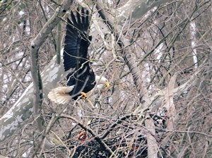 The male bald eagle flies back to the nest in Hays on Tuesday.