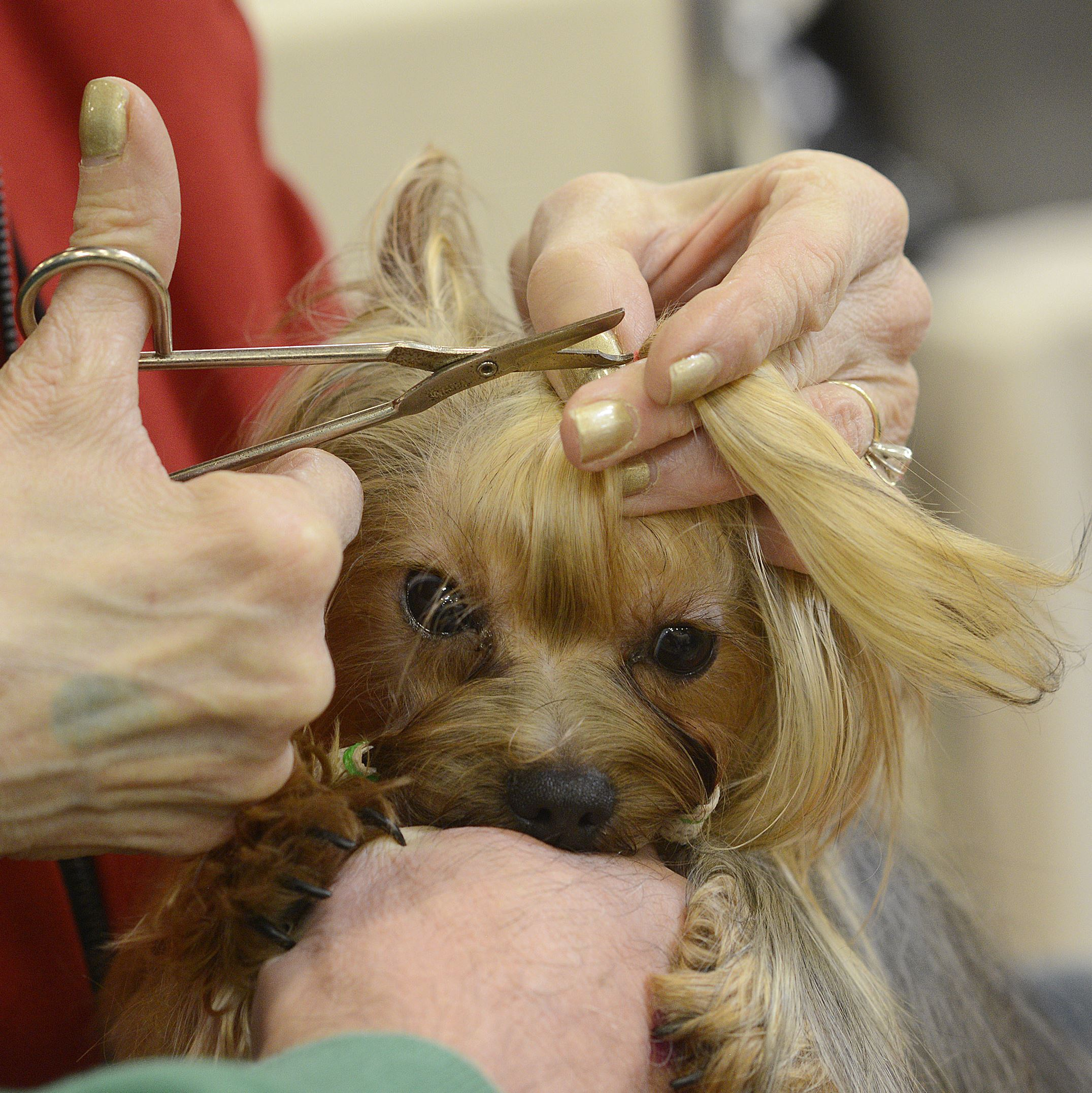 20170402lrpadogshow10-8 Maribeth Mitchell of Shaler grooms Sticky Fingers McGuire, a 14-month old Yorkshire Terrier.