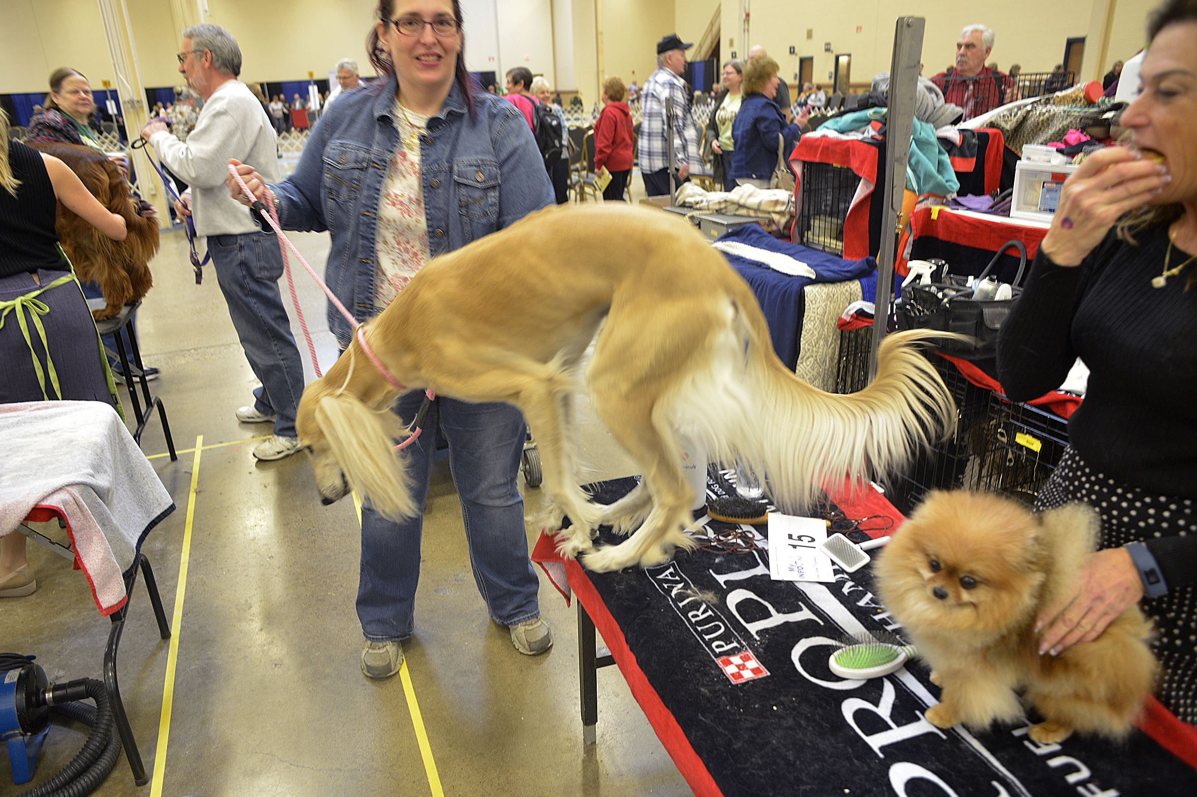 20170402lrpadogshowbestshow Snapple jumps off a table after visiting with the Pomeranian named Letta on Sunday.