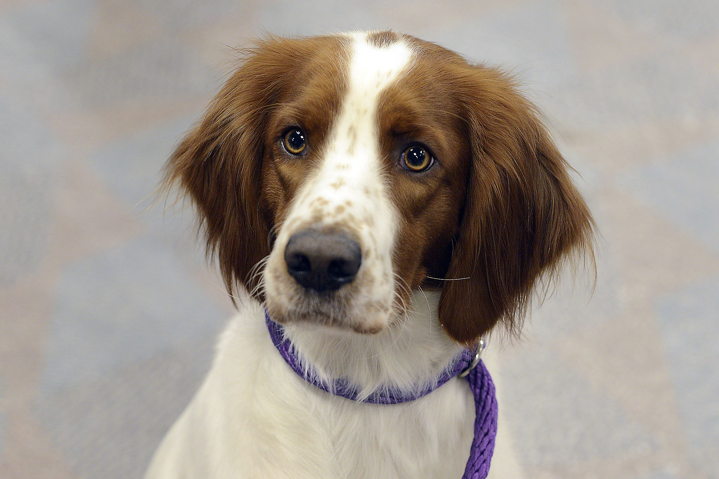 """20170402lrpadogshow14-12 Kairi, a 3-year-old Irish red and white setter, participated in """"Meet the Breeds"""" last weekend at the Western Pennsylvania Kennel Association dog show at the Monroeville Convention Center."""
