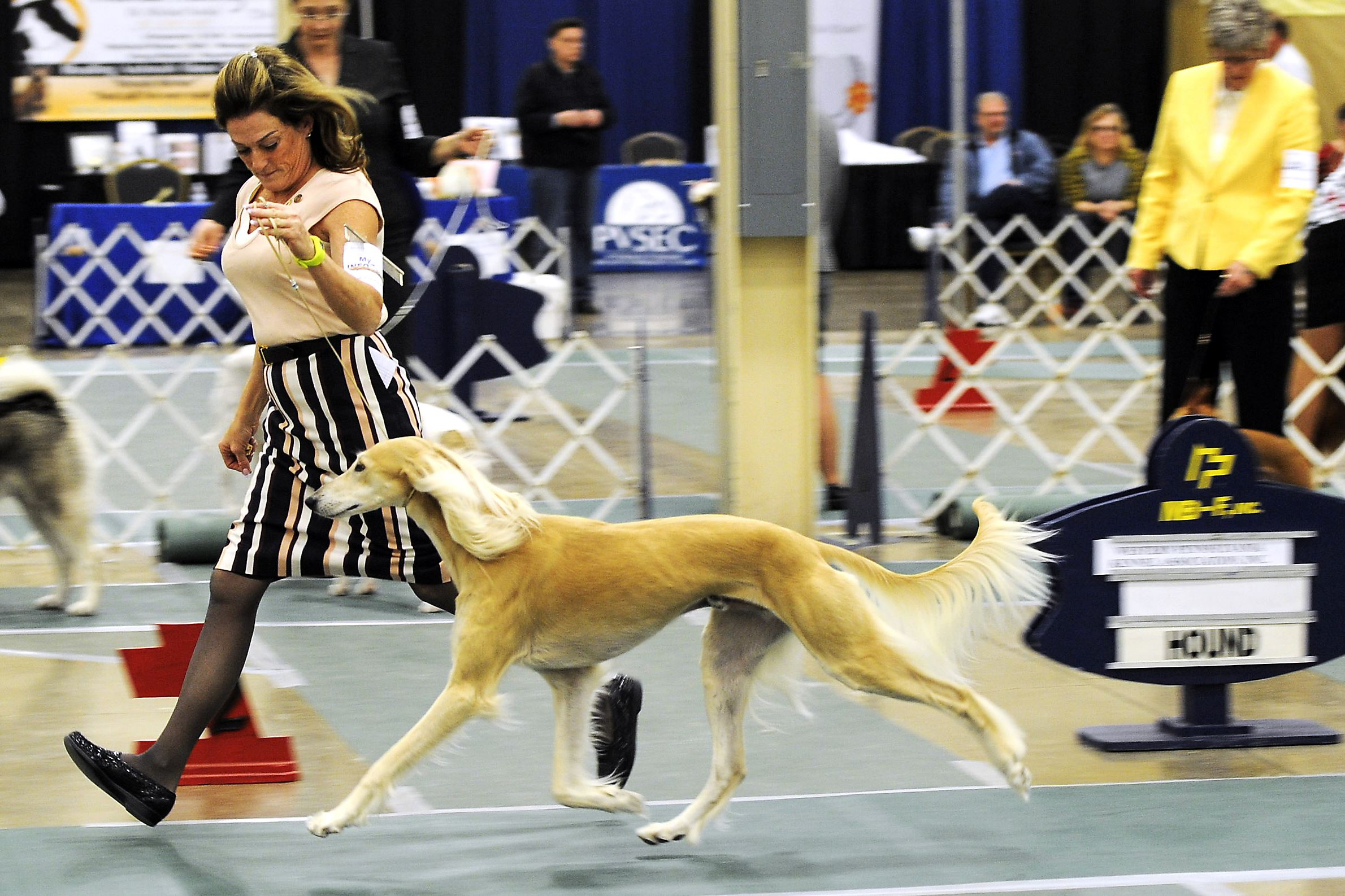 Snapple Saluki Best of Show-4 Snapple the Saluki won the Best in Show Award at the Western Pennsylvania Kennel Association dog show.