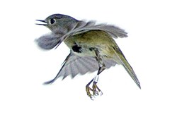 A Ruby Crowned Kinglet takes flight after having its measurements taken at the Powdermill Avian Research Center in Rector, Pa.  on Tuesday, April 26, 2011.