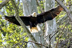 The female bald eagle returns to her nest in Hays.