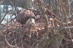 Screengrab of Harmar eagles shows one eaglet being fed, the other standing to the right of the parent.