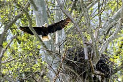 The female bald eagle returns to her nest in Hays in April.