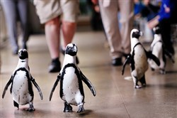 Penguins parade around the hallways of the National Aviary in celebration of World Penguin Day April 25. The aviary is planning a penguin-themed appreciation day Friday for former Penguins goalie Marc-Andre Fluery.