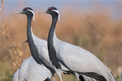 Demoiselle cranes at Tal Chhapar Sanctuary in India.