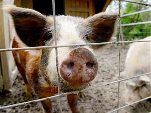 Templeton the pig.