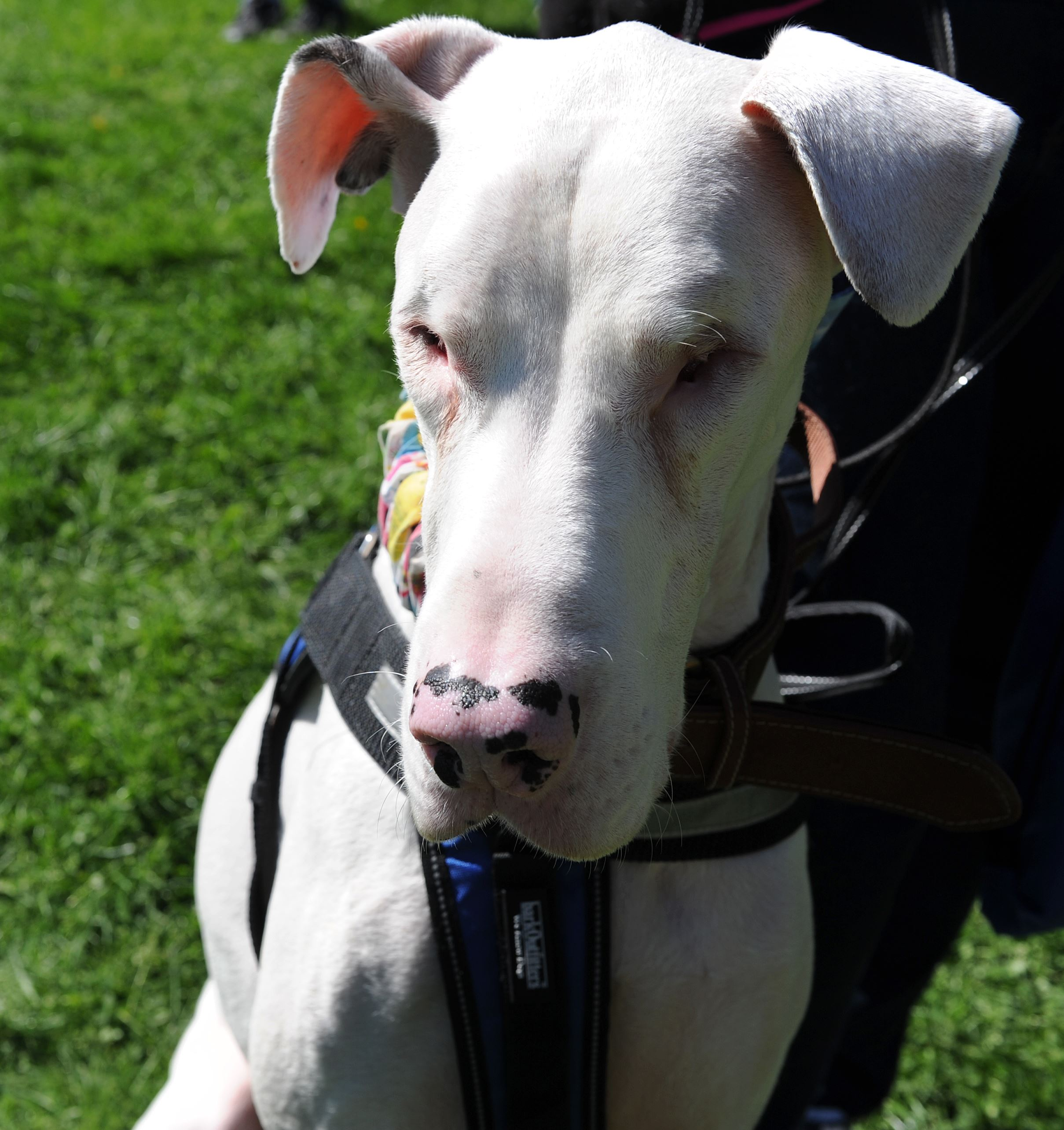 20170423ng-Petwalk9-8 Cody, a four-year-old Great Dane who was born blind and deaf, joined inthe Friends of Jupiter Walk in Boyce Park.