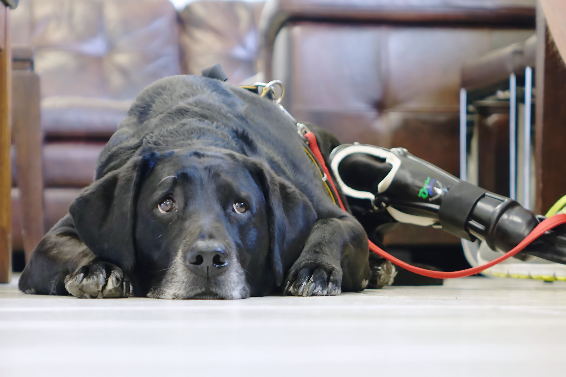 DOGSpROSTHETIC Maggie, an eight-year-old Labrador Retriver service dog, waits for a checkup on her prosthetic leg at Lauderdale Veterinary Specialists in Oakland Park, Fla.