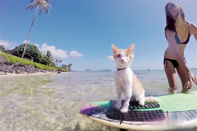 "Nanakuli enjoys surfing in Hawaii. He's one of the cats featured in ""Adventure Cats"" by Laura J. Moss."