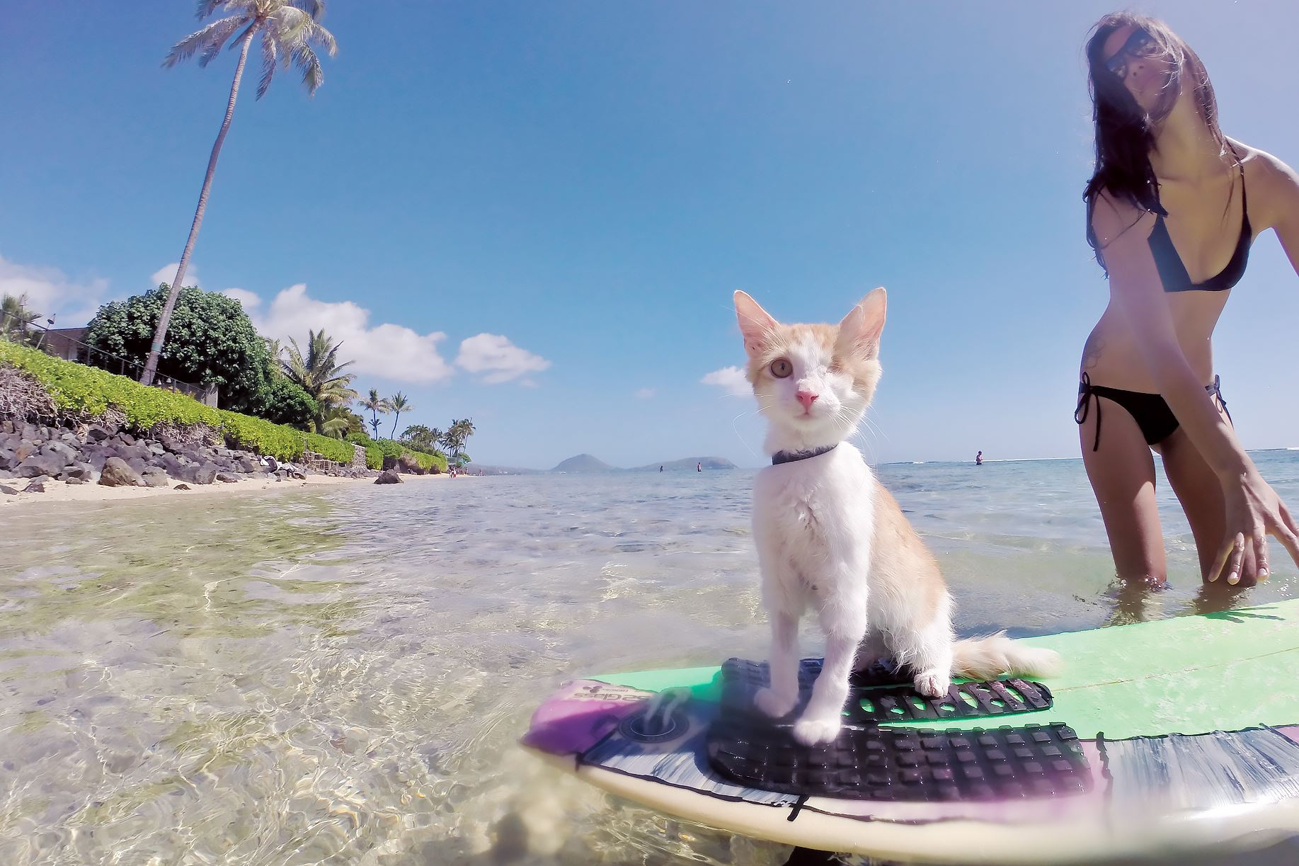 "PetTales0513_Kuli Nanakuli enjoys surfing in Hawaii. He's one of the cats featured in ""Adventure Cats"" by Laura J. Moss."