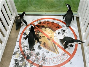 Members of the National Aviary's colony of African Penguins launch a fierce attack to obliterate a symbol of the Ottawa Senators using harmless paints at the Aviary on Monday, May 22, 2017. The Pittsburgh Penguins will play the Ottawa Senators on Tuesday for the Game 6 of the NHL Eastern Conference Finals.