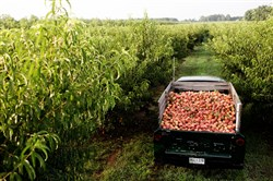 A truck is loaded with peaches at Pearson Farm in Fort Valley, Ga. The Peach Truck will bring peaches directly from the 1,800-acre farm to Pittsburgh on June 4.