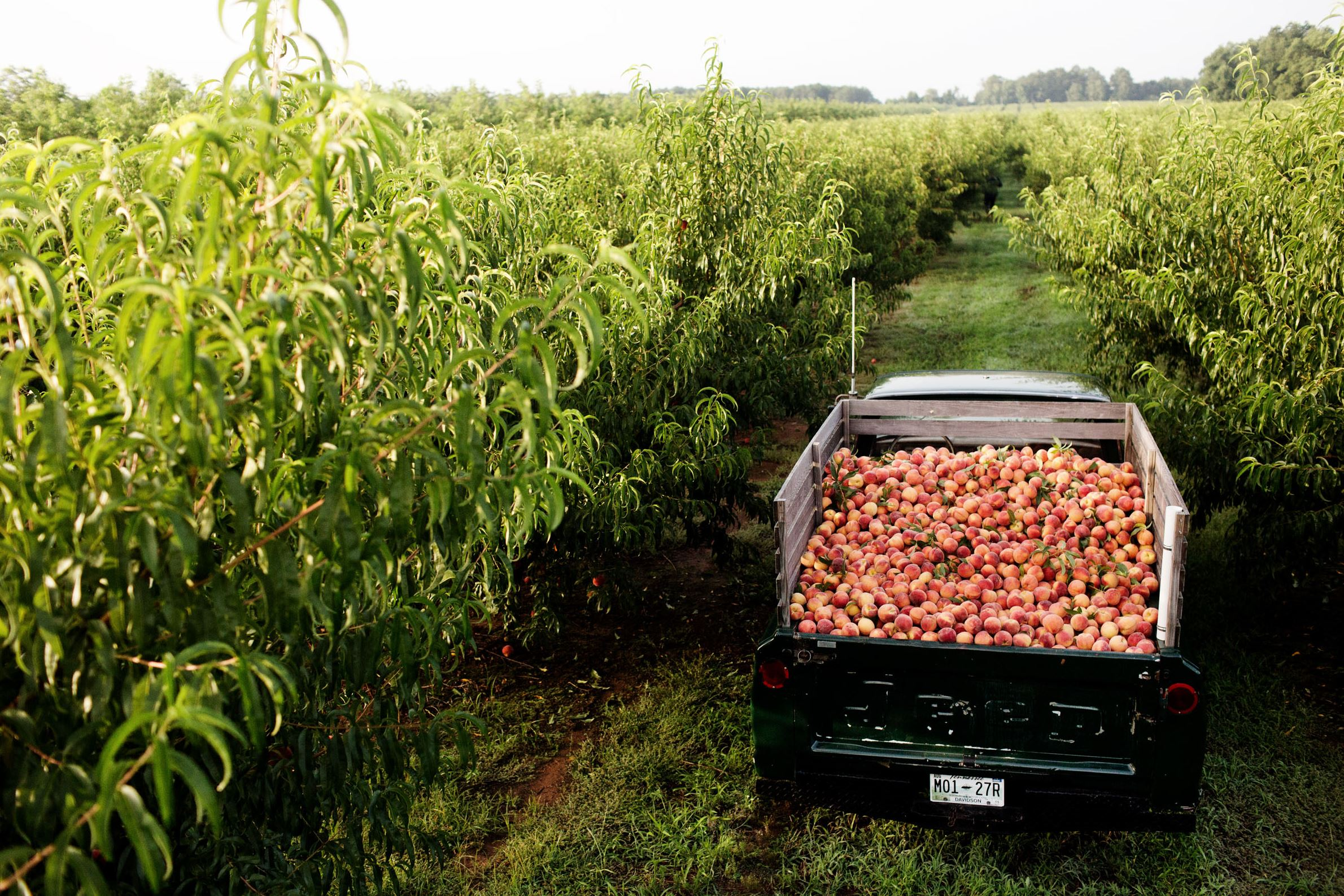 Georgia peach crop faces nearly 80 percent loss this year