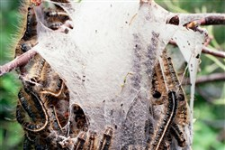 Tent moth caterpillars are about to burst out of a coccoon in Princeton, N.J., in this 2001 file photo.