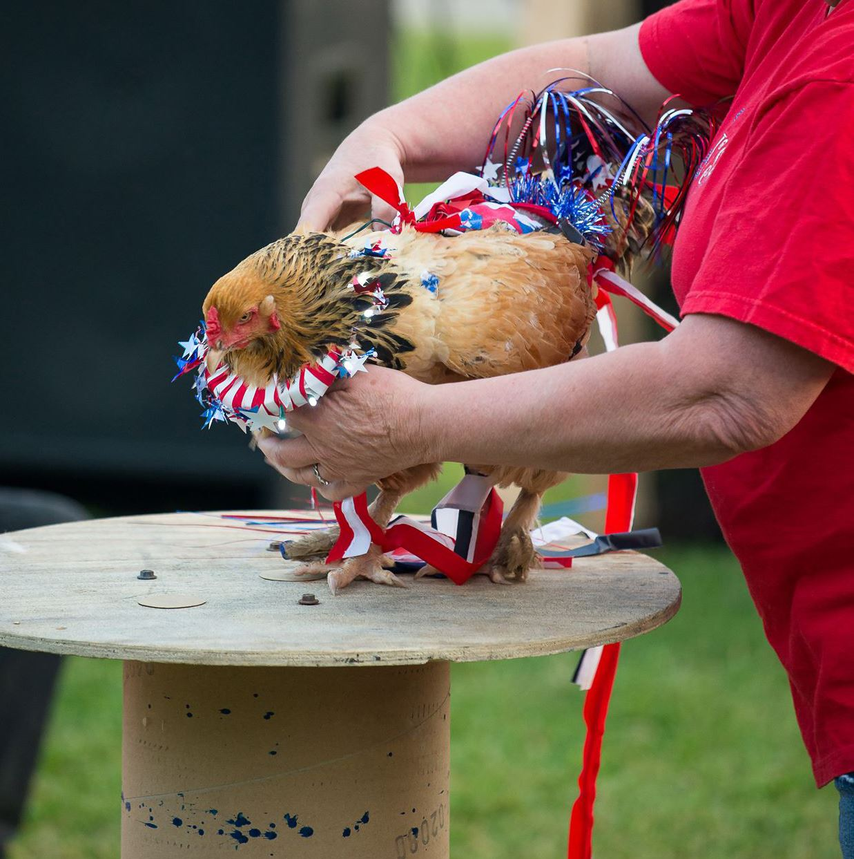 Poultry0610_BrahmaHen1-1 Frieda, a Golden Brahma hen owned by Debra Lynn Kimball, sported patriotic colors.
