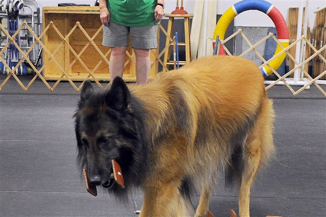 "Nancy Glabicki watches ""Cutter,"" a Belgium Tervuren,  during a scent identification exercise during training at the Westmoreland County Obedience Training Club in Delmont. They will be competing in obedience at the Bushy Run Kennel Club show next weekend."
