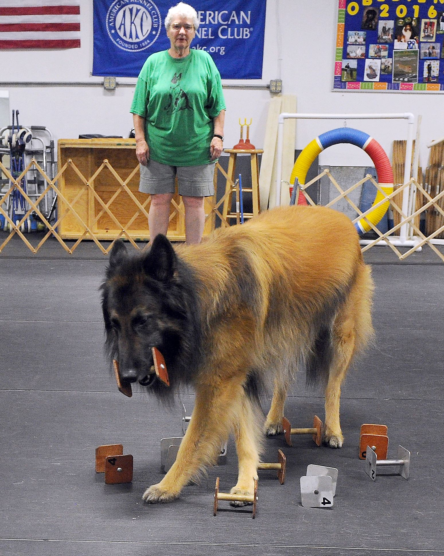 """20170624ng-Pettails2-1 Nancy Glabicki watches """"Cutter,"""" a Belgium Tervuren, during a scent identification exercise during training at the Westmoreland County Obedience Training Club in Delmont. They will be competing in obedience at the Bushy Run Kennel Club show next weekend."""