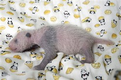 A 10-day giant panda cub at Ueno Zoo in Tokyo. Ueno Zoo said Friday, June 23, 2017 the panda, born on June 12, was ruled a female by examining experts. The still nameless cub has been doing well, drinking mother ShinShin's milk. Panda cubs gradually get black markings on their ears, eyes and paws, and the spots were starting to show.