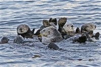A group of sea otters gathers in Morro Bay, Calif.
