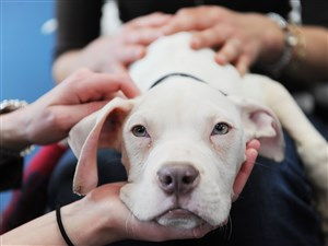 The latest house bill will toughen penalties against those found guilty of neglect and abuse of animals, like Valentino, above, a pitt bull mix that was found starving and near death in Larimer on Valentine's Day in 2016.