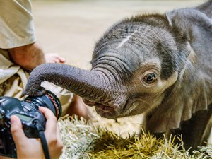 A baby elephant inspects a camera after meeting the public for the first time at the Pittsburgh Zoo & PPG Aquarium in Highland Park on July 7.