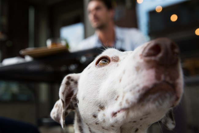 Molly, a 6-year-old dalmatian, sits next to her owner, Jordan Karcher, at Mr. Karcher's  Grounds & Hounds Coffee Co. in Lawrenceville.