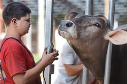 David Schultheis, then 11, of Karns City, gets some pull back from his Brown Swiss cow, Winniefred as he prepares to show her at the Lawrence County Fair in 2015.   The fair runs though Saturday.
