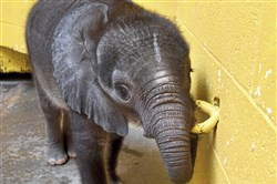 A female baby elephant teethes on a metal loop at Pittsburgh Zoo & PPG Aquarium in Highland Park on July 21.