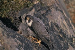 New rules make it easier for falconers to capture migrating tundra peregrines and teach them to hunt in Pennsylvania.