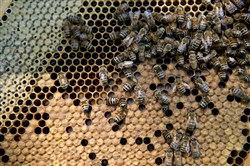 Carniolan honey bees climb on the frame of a hive owned by Bureau County Honey Co. near Hennepin, Illinois, on July 3, 2014. MUST CREDIT: Bloomberg photo by Daniel Acker.