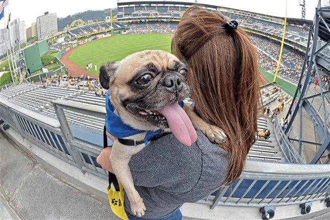 Volunteer dog walker Lynne Sweeney holds Gruffalo, a pug from Animal Friends, during Pup Night at PNC Park.  The ballpark is holding its first Vegan Night next weekend. Pugs will be the stars of Pugtoberfest.