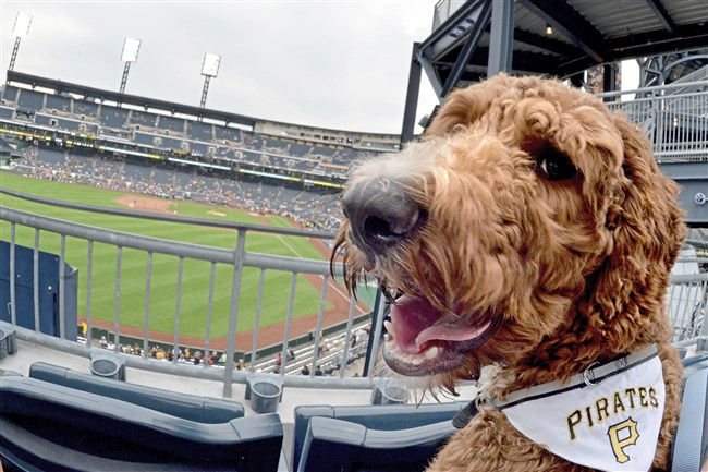 Rooney Aurthur, a Virginia goldendoodle, attends Pup Night at PNC Park earlier this month. Pittsburgh comes in at No. 47 on the list pet-friendly cities, according to a ranking by WalletHub.