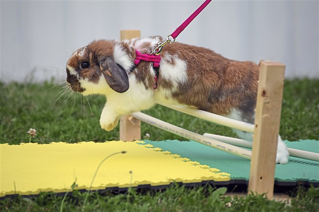 Otis the bunny practices jumping for the Butler Farm Show's first Celebrity Rabbit Hopping Contest set to take place Monday.