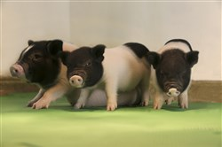 In an undated handout photo, piglets whose genes were edited to remove a retrovirus.