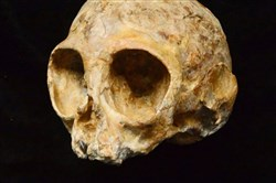 Alesi, the skull of the extinct ape species Nyanzapithecus alesi.