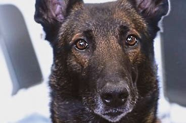 HeroDog0812_Ice-2 Ice, one of the 2017 American Humane Hero Dog Awards category winners. Of these one will be named the American Hero Dog of the year at American Humane's Sept. 16 gala awards in Hollywood. The event will be televised nationwide on Hallmark Channel on October 26