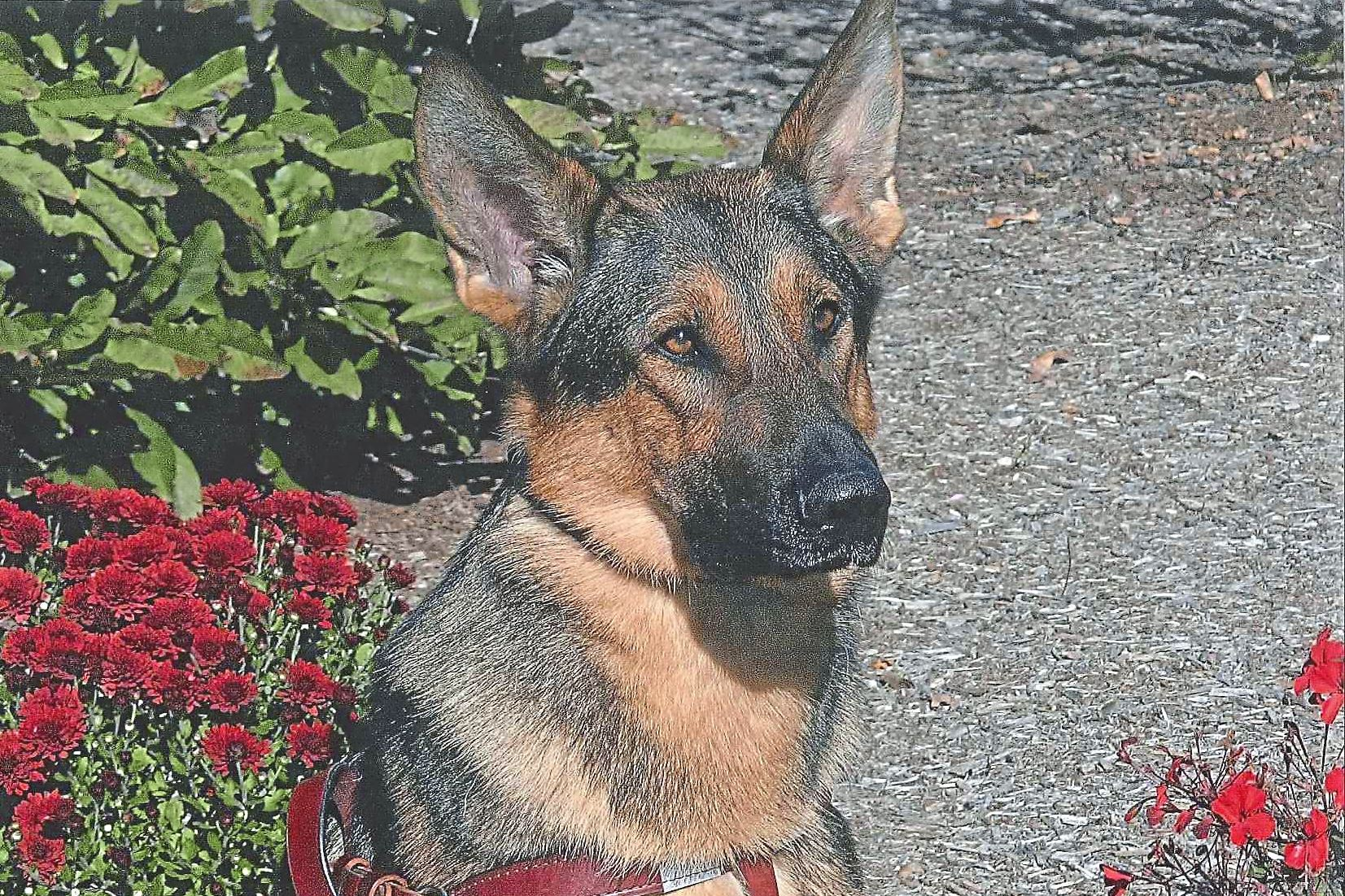 HeroDog0812_Pierce-4 Pierce, one of the 2017 American Humane Hero Dog Awards category winners. Of these one will be named the American Hero Dog of the year at American Humane's Sept. 16 gala awards in Hollywood. The event will be televised nationwide on Hallmark Channel on October 26