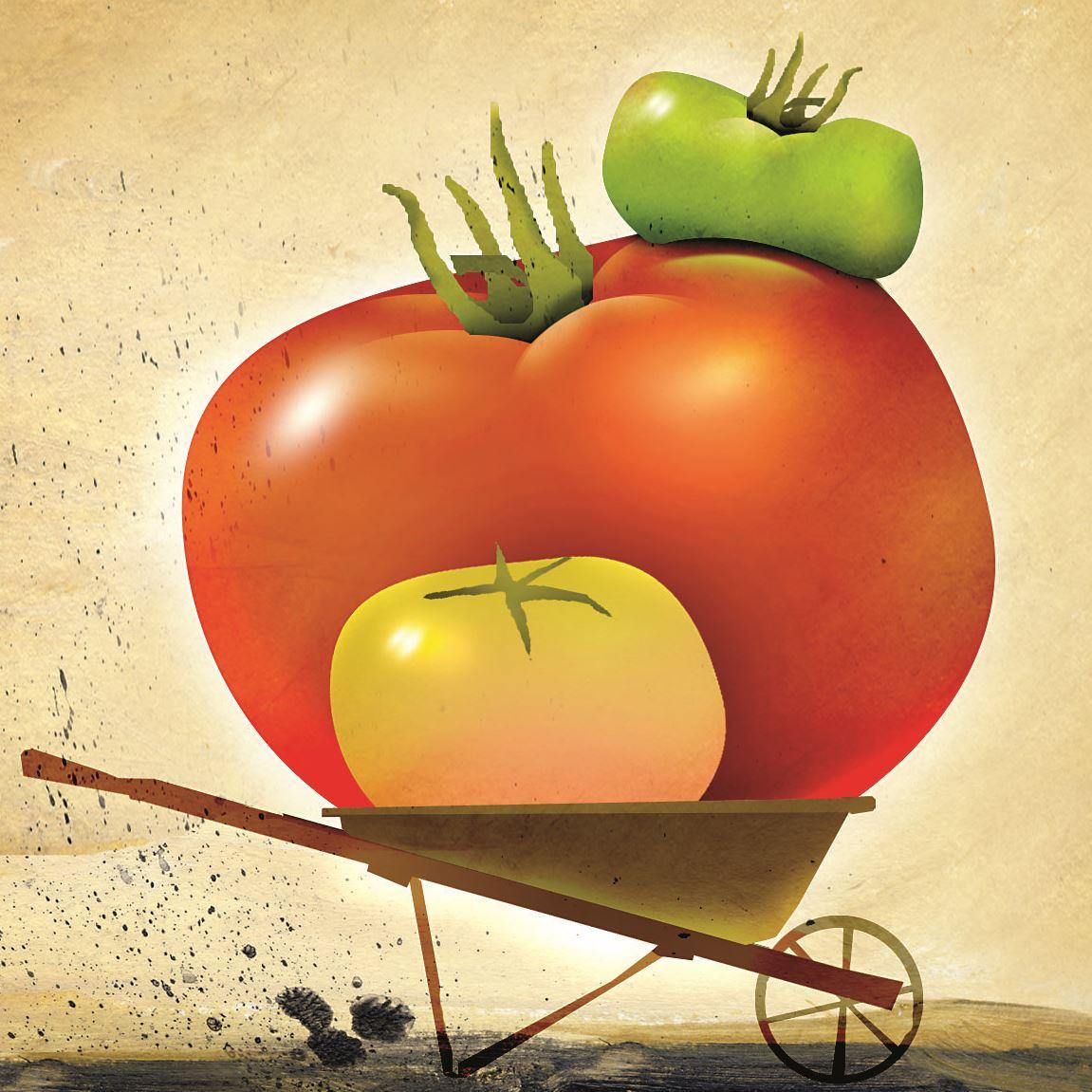 2_Tomatoes0823 All that rain has slowed the tomato season some.