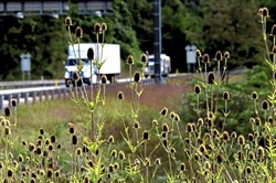 "Northbound traffic is in the background of a group of teasel in a  wide grassy and wooded medians, between the north and southbound lanes of the ""s"" bends of Interstate 79 in Robinson  near Neville Island and Coraopolis."