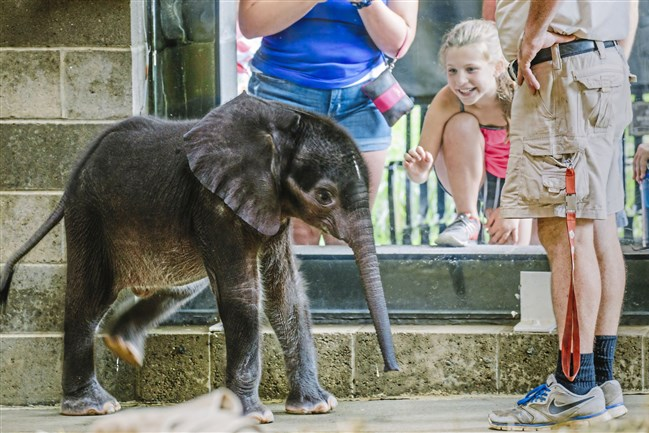 The Pittsburgh Zoo's 4-week-old baby elephant meets the public for the first time at the elephant family room windows in Highland Park on July 7, 2017.  The elephant died Aug. 30.