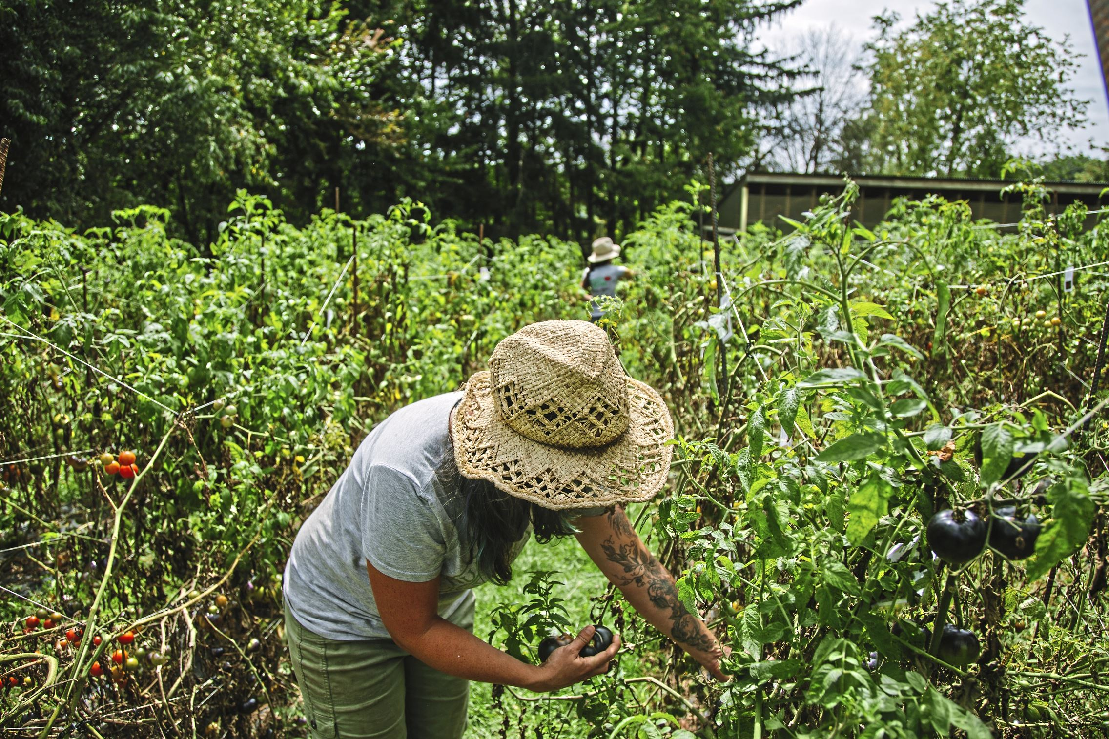 20170830arChurchviewFarm04-3 Tara Rockacy, owner of Churchview Farm, picks tomatoes at the farm.