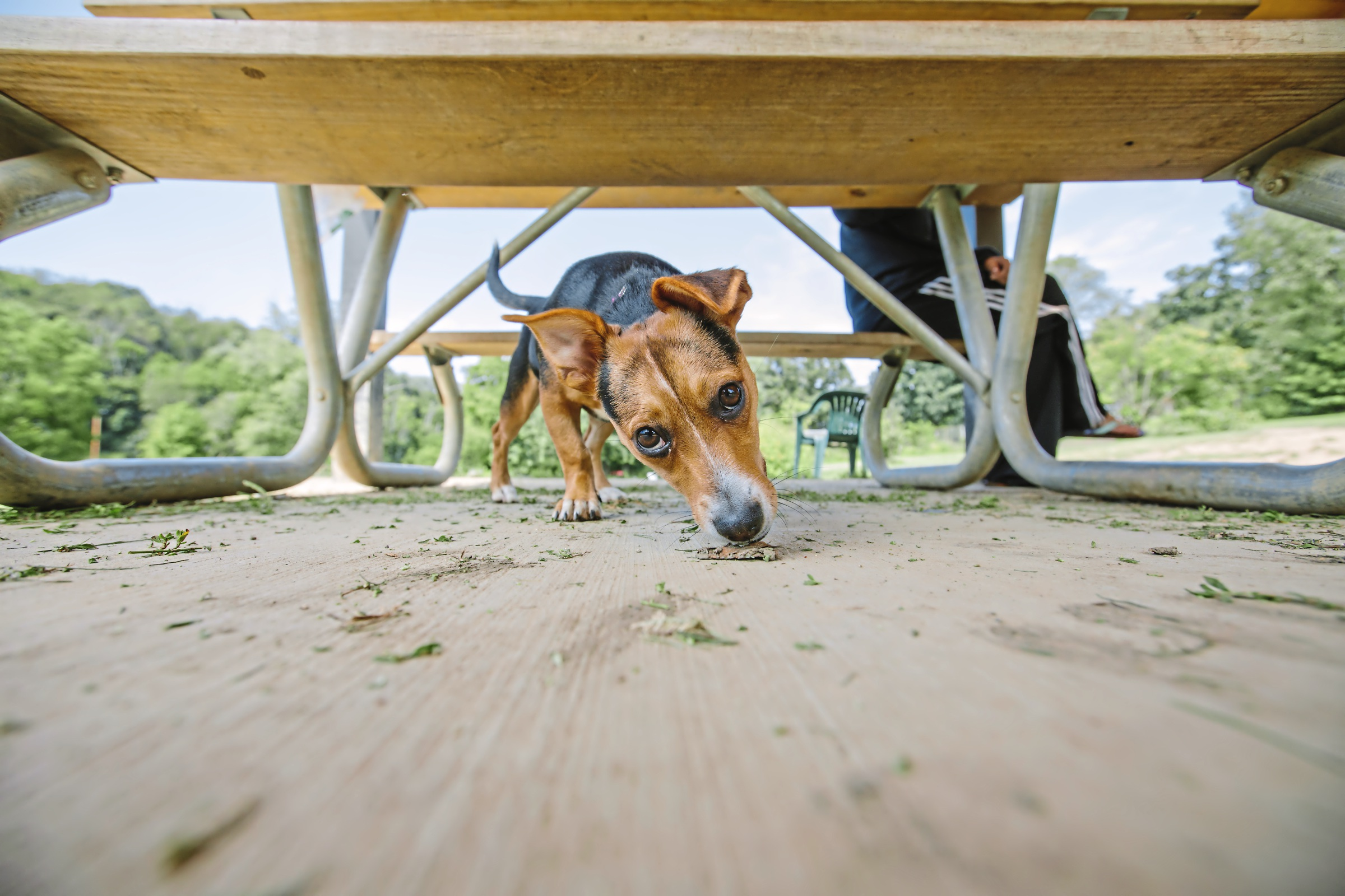 20170829arDogParks05-4 Madison, owned by Emily Kiener of Bethel Park, inspects the area underneath a picnic table at the South Park Dog Park.