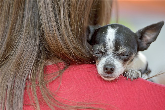 CeeCee, a 9-year-old Chihuahua from Brookline, rests on the shoulder of her companion, Jessica Taucher, of Brookline, at the second annual Community Mutt Strut, Saturday, at Frick Park in Point Breeze.