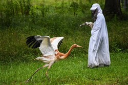 Animal care technician Kathryn Nassar wears a costume and holds a crane puppet as she interacts with a 2-month-old whooping crane at the Patuxent Wildlife Research Center.