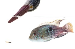 A photo illustration of a fake heron, a live cichlid and a guppy that was habitually subjected to both at the University of Exeter.